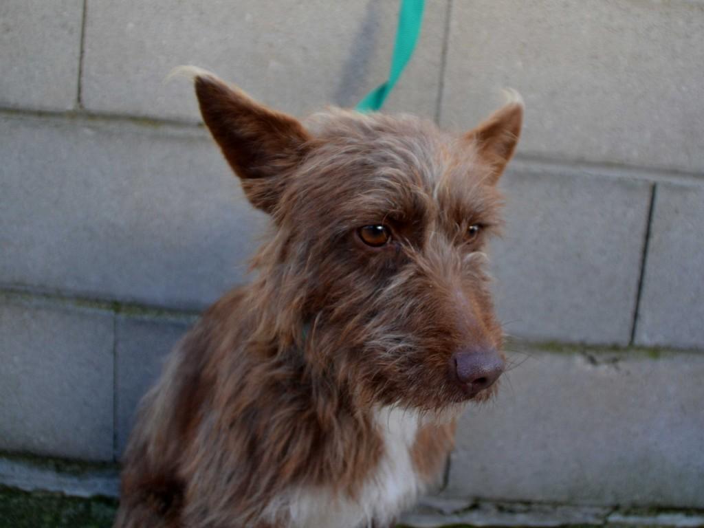 Flor – petite podenca poil dur Scooby France – Adoptée !  En fuite !!! DSC_0032_3