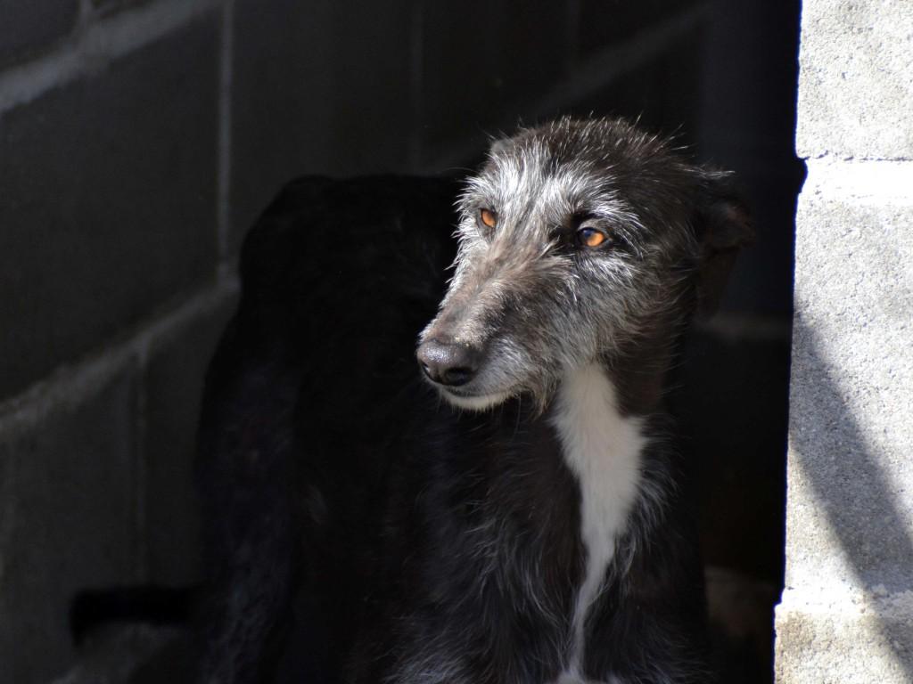 Riberi galgos barbudos  à l'adoption Scooby France  Adopté DSC_0082_2
