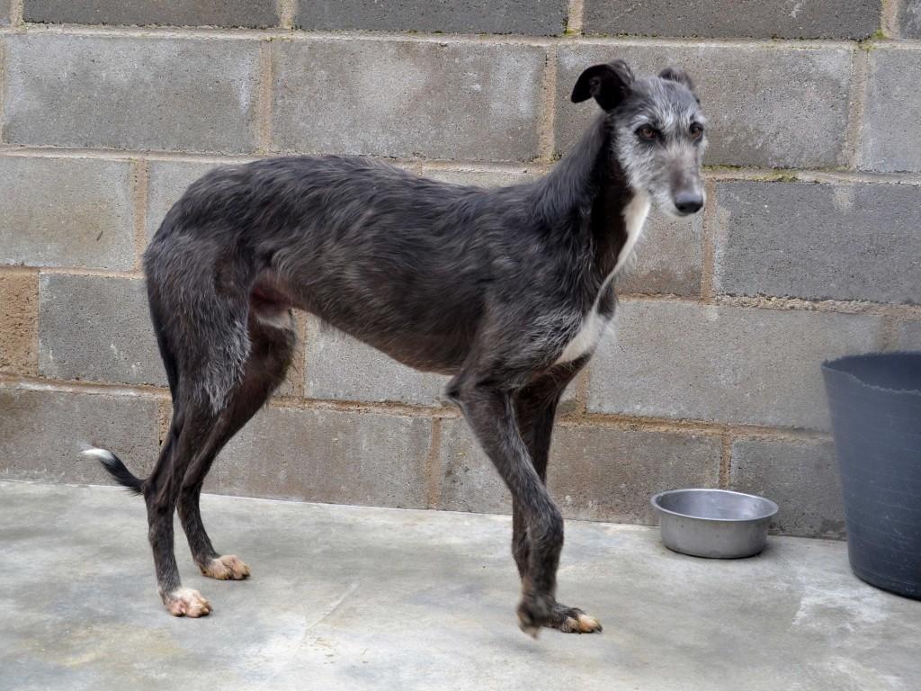 Riberi galgos barbudos  à l'adoption Scooby France  Adopté DSC_0124