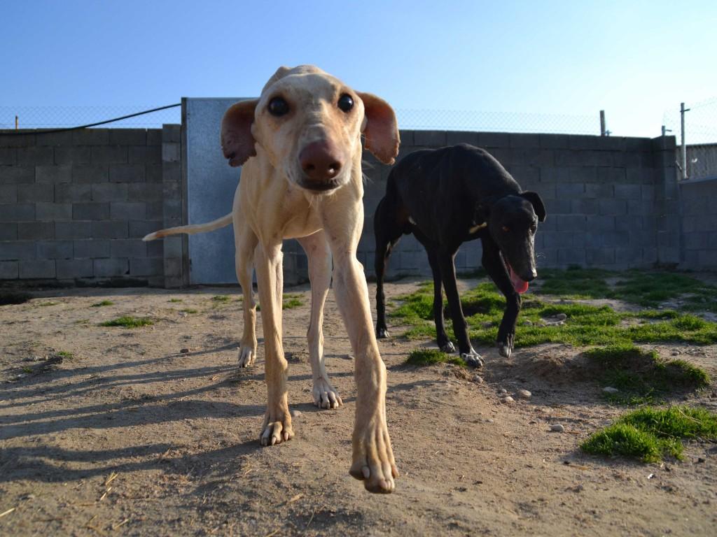 KIRO (galgo presque aveugle, SF) dans sa famille chez HAPPYDAY DSC_0186_1