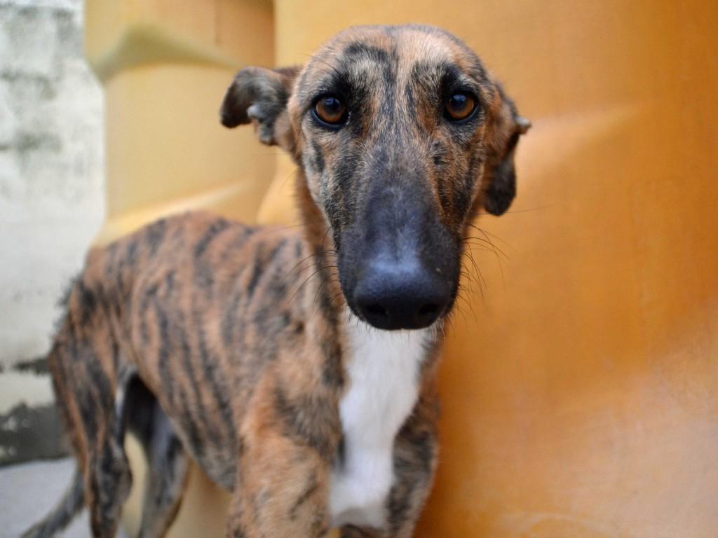 Mirra galga à l'adoption  Scooby France Adoptée  DSC_0335