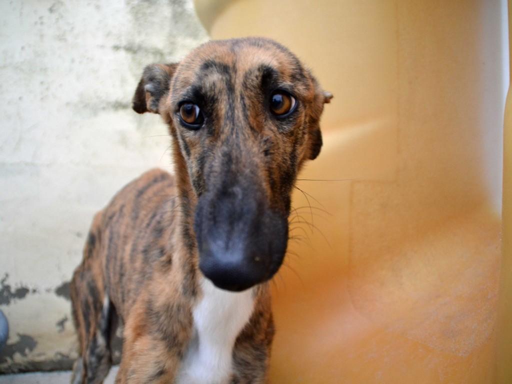 Mirra galga à l'adoption  Scooby France Adoptée  DSC_0354_0