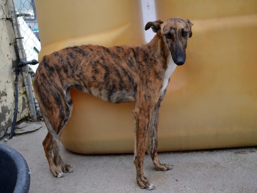 Mirra galga à l'adoption  Scooby France Adoptée  DSC_0385_0