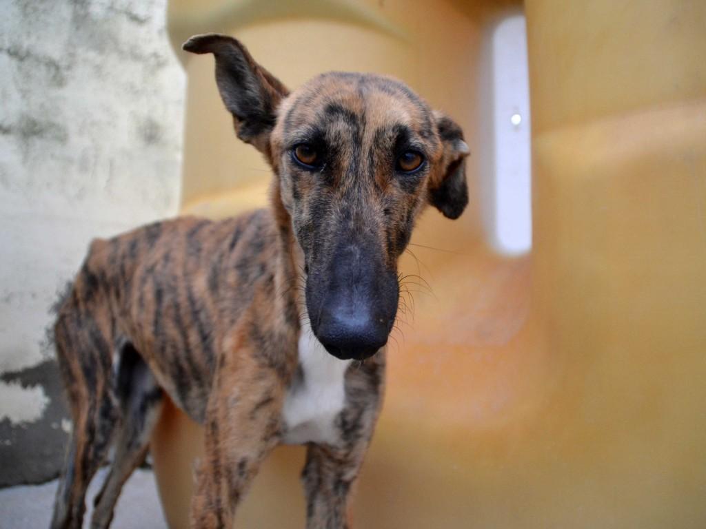 Mirra galga à l'adoption  Scooby France Adoptée  DSC_0420_0