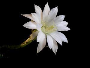 Nos amies les fleurs (Symbolisme) - Page 11 Photo-gratuite-et-libre-de-droits-fleur-de-cactus-echinopsis-eyriesii-2435522