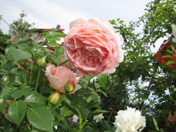 Розы цветут 5Ndqw