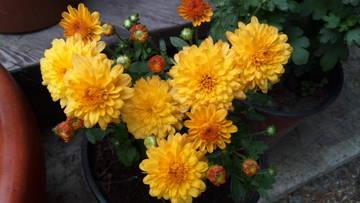 Хризантемы - Страница 20 PlWC8