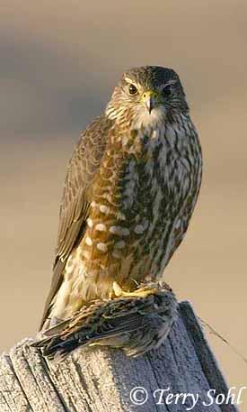 Falconiformes. sub Falconidae - sub fam Falconinae - gênero Falco Merlin