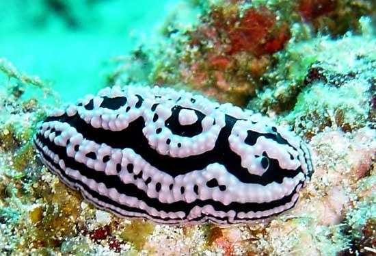 recherche des informations sur le genre Clione - sea slug Piella_meandrina6f