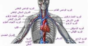 أمراض القلب والجهاز الدوري Thm_circ2