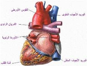 أمراض القلب والجهاز الدوري Thm_heart1