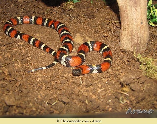 animal de Martin du 20 novembre trouvé par  Martine - Page 2 Serpent-de-lait