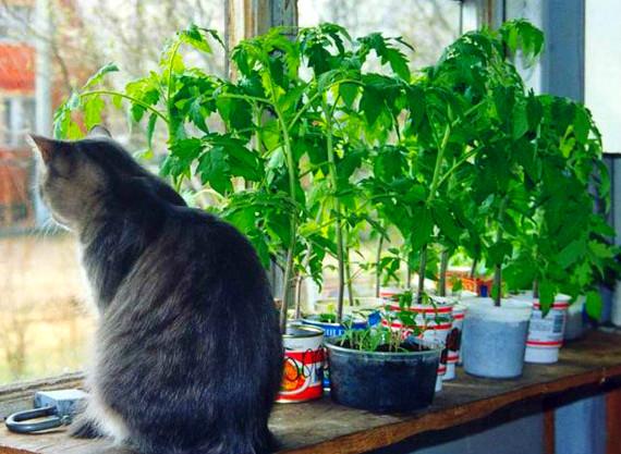 коты и цветы - Страница 2 Rassada