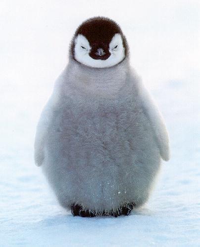 البطريـــق Penguinchi