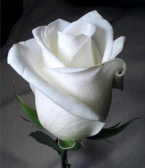 اهداء هدية مع تحية حسب الوقت - صفحة 4 Whiteroseb