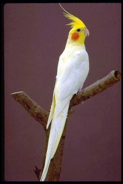صور طائر الكوكتيل Nsaayatc36