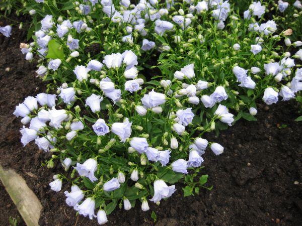 Продам растения - Страница 12 2_420