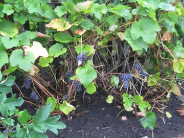 Виноград- секреты выращивания - Страница 31 Wk3Qw