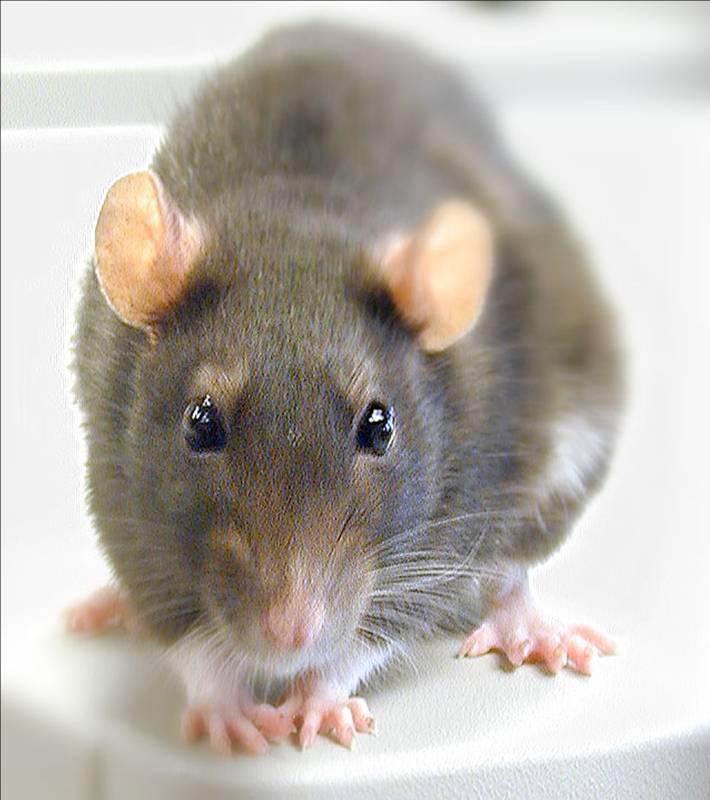 هل تعلم لماذا اختر القذافي في خطابه الجرذان والقمل  ... Ugly-rat