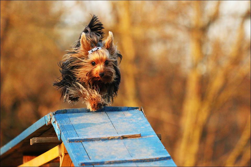 Yorkshire terrier 139143014329922169144611
