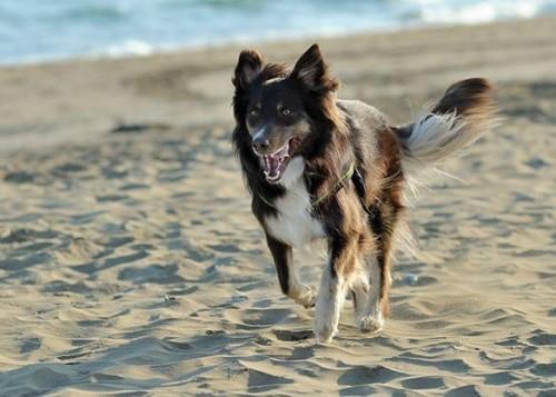 Avstralski Ovčar [Australian Shepherd] 166037460795120790762043