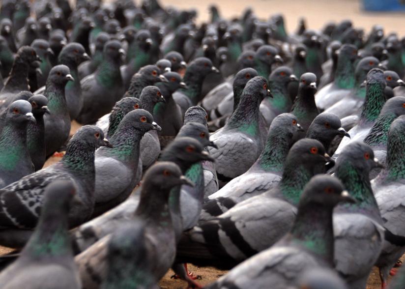 Une solution pour la Grèce! Pigeons