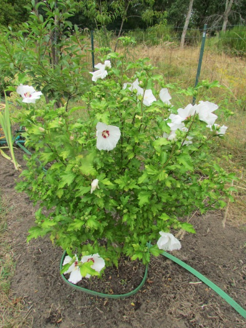 Hibiscus syriacus ou althéa  - Page 2 21pkzs