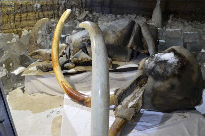 Découverte de 2 bébés lions des cavernes en Yakoutie Inside_mammoth_head