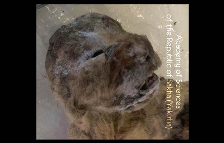 Découverte de 2 bébés lions des cavernes en Yakoutie Information_items_3650