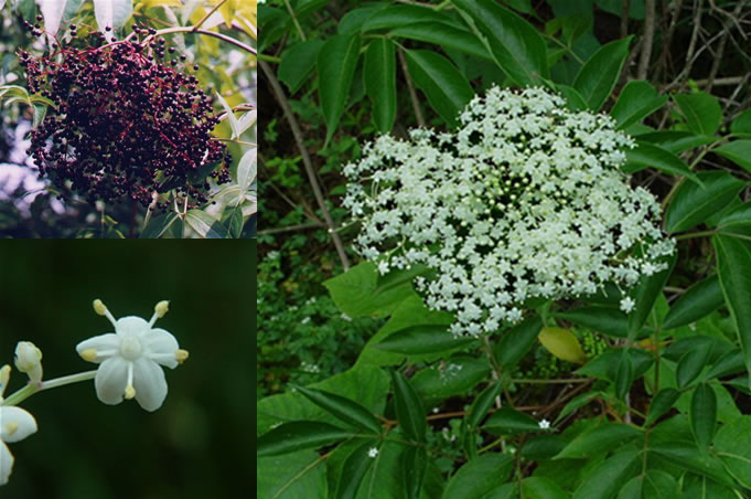 Living Off the Land: 52 Highly Nutritious, Wild-Growing Plants You Can Eat Elderberry