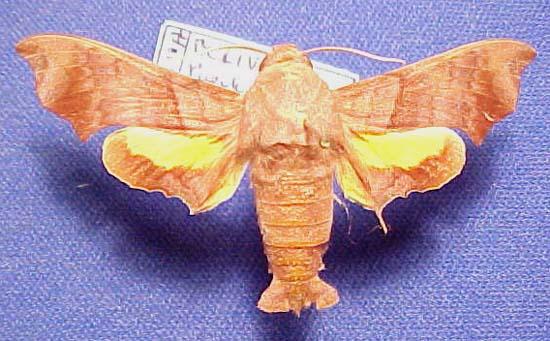 Sưu tập Bộ cánh vẩy  - Page 44 Perigoniapallida