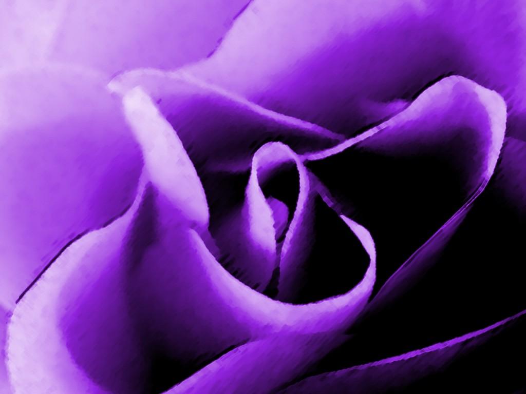 Ljubičasta magija - Page 2 Jw-purple-rose-1024x768