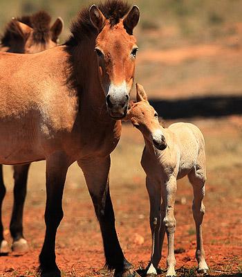 Prževalski hobune Effie