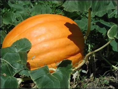 تعرف عن شجرة اليقطين Pumpkin