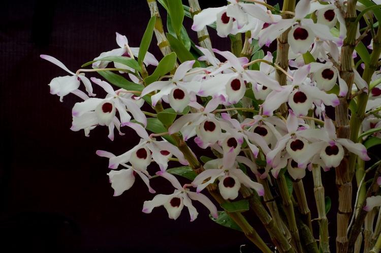 Le genre Dendrobium 35450