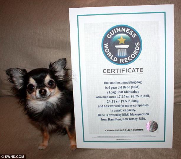 Книга рекордов Гиннеса 2011, 2012, 2013 - Страница 4 Chihuahua