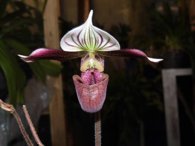 paphiopedilum purpuratum 5dxr2a