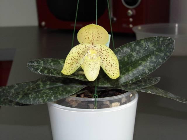 Paphiopedilum concolor 5lohnj