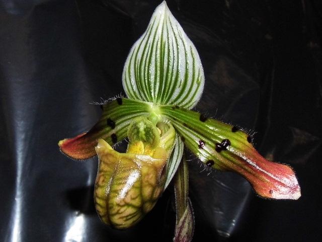 paphiopedilum venustum Nsnz1q