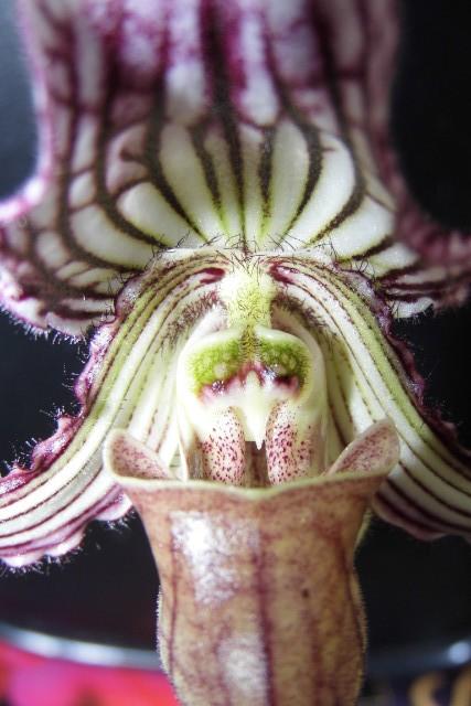 paphiopedilum fairrieanum P1ts2l