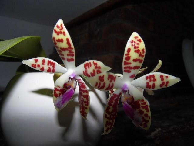 phalaenopsis corningiana G5nrky