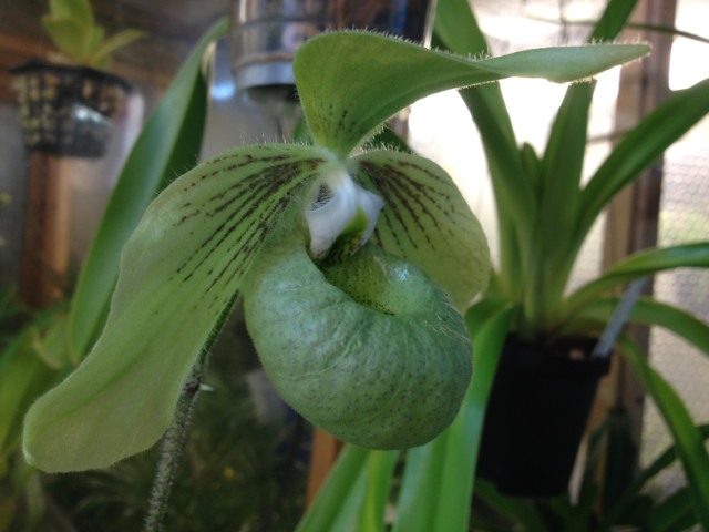 paphiopedilum jackii Pvbbr9