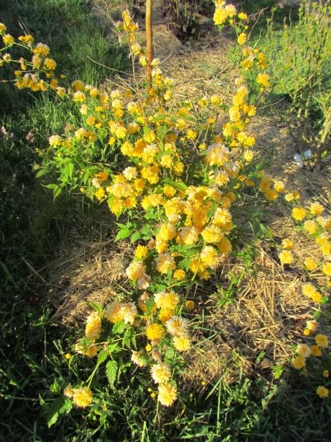 Kerria japonica Hapvvi