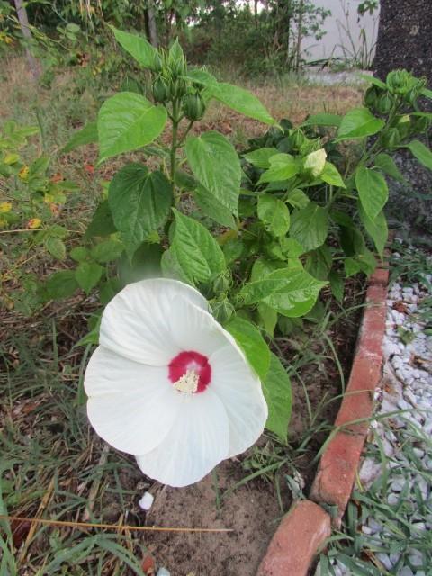 Hibiscus des marais 4cefg9