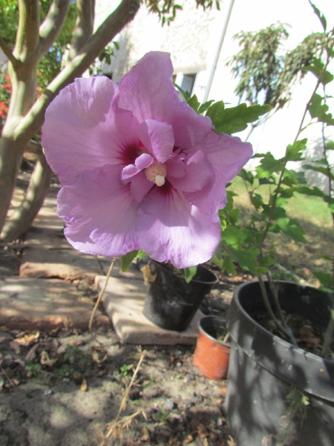 Hibiscus syriacus ou althéa  - Page 3 T2wwax