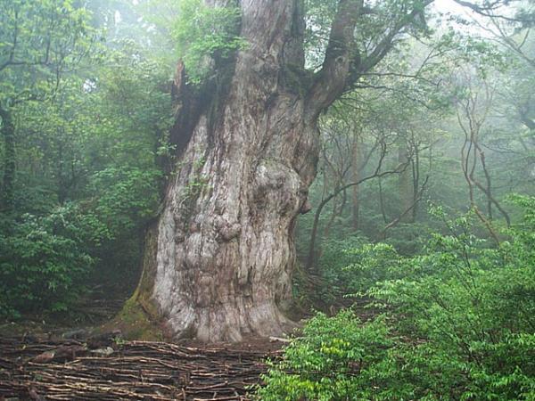 Top 10 Jhomonsugi-tree.jpg-custom-600x450