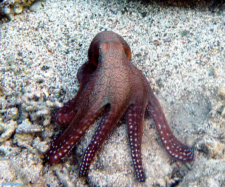 Hobotnica (Octopus cyanea) Octopus_cyanea
