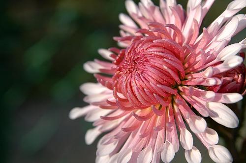 BUSQUEMOS HERMOSAS FLORES - Página 5 Crisantemo-5
