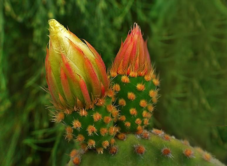 BUSQUEMOS HERMOSAS FLORES - Página 5 Flor-de-cactus