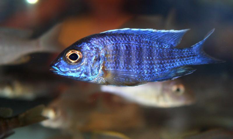 Photos de la bourse d'Arlon 2008 Scienochromis